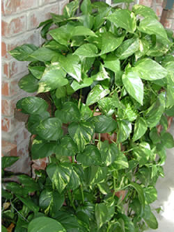 Virtual Field Trip - Indoor Poisonous Plants on poison ivy plants, plant ivy plants, perennial ivy plants, small ivy plants,