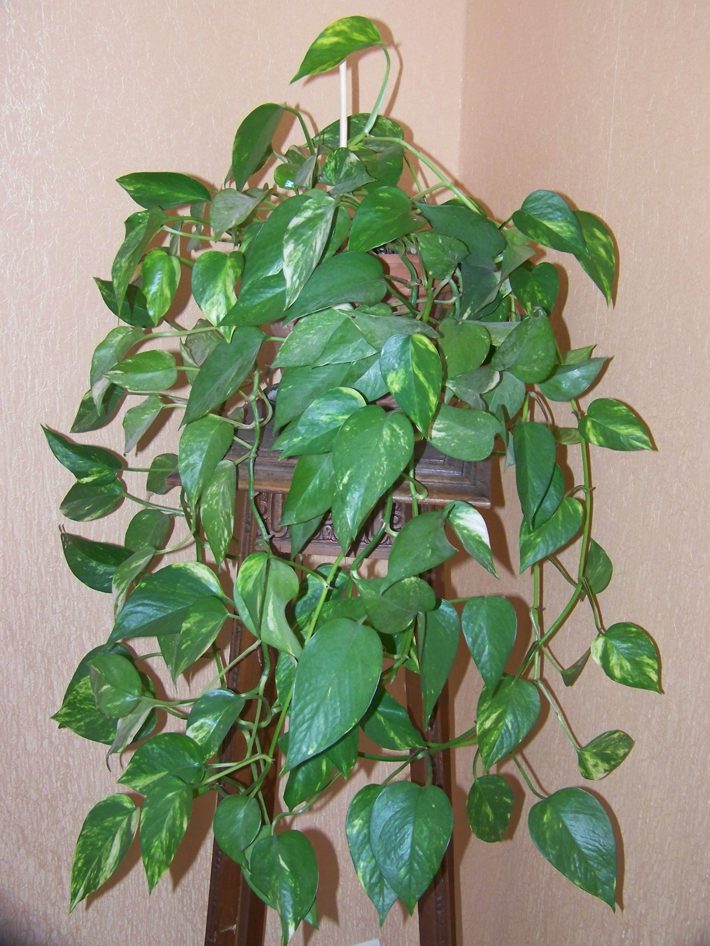 Pothos-Ivy-e1447309726438 Poisonous House Plant Ivy on poison ivy plants, perennial ivy plants, plant ivy plants, small ivy plants,